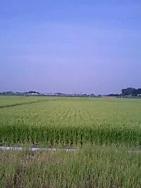070807_rice_field_02