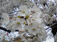 Sakura_2007_1